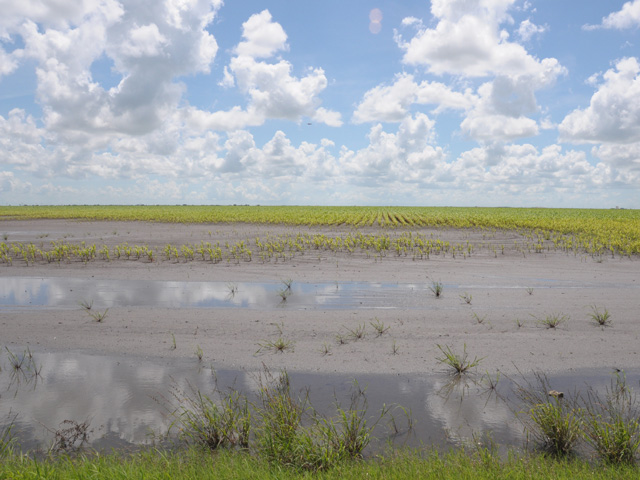 A struggling sorghum crop emerges yellowed and delayed from flooding in South Texas. (DTN photo by Emily Unglesbee)