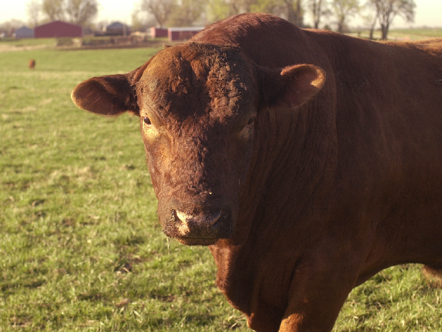 One reader wants to know the best vaccine to use for banded bulls. (DTN/Progressive Farmer photo by Jim Patrico)