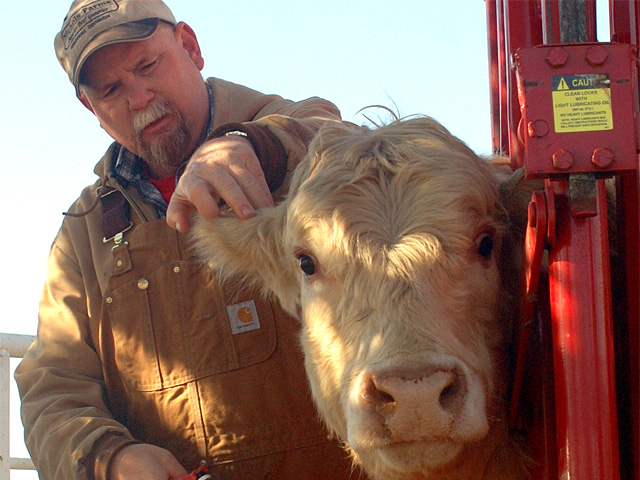 Ear taggers, dehorners and needles can all spread anaplasmosis from seemingly healthy carrier animals to others in the herd. (DTN/Progressive Farmer photo by Jim Patrico)