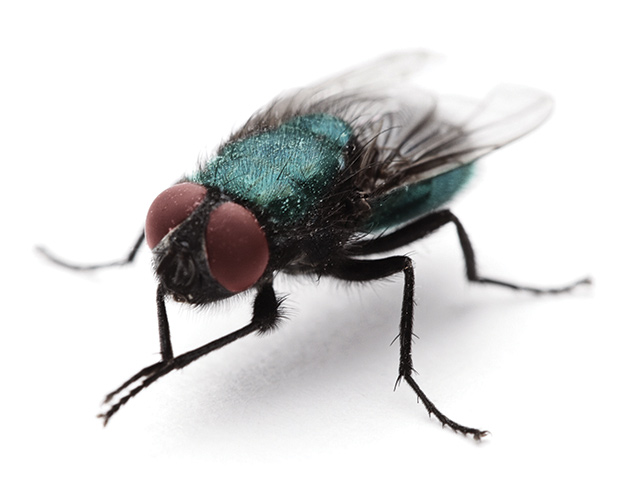 There are two types of feed-through fly control products. Which works best for you? (Thinkstock image)