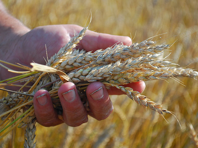 Producers are urged to be cautious and test quality and safety of wheat before feeding it to cattle. (DTN/Progressive Farmer photo by Boyd Kidwell)