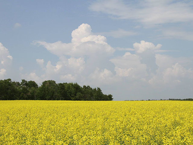 Canola conditions in Saskatchewan improved between late June and late July, thanks to additional moisture. However, Statistics Canada pegged the crop at 13.3 million metric tons Aug. 21, down 14.2% from last year's 15.555 mmt. (DTN photo by Elaine Shein)