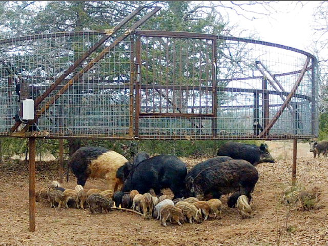 Estimates are that 70% to 75% of the wild hog population need to be killed to keep feral hogs under control. (Photo courtesy Noble Foundation)