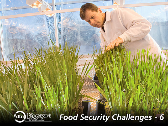 Brian Steffensen, Minnesota Agricultural Experiment Station, evaluates genes from wild cereals species that could help improve wheat, barley, oat and rye crops. (Progressive Farmer photo by David Hansen)