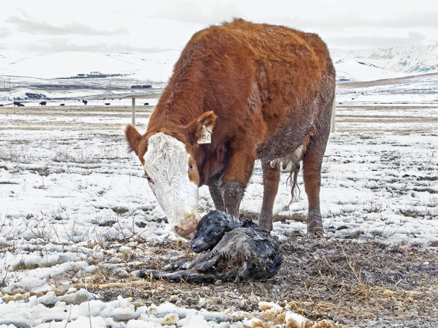 Dams lick newborn calves, which removes wet afterbirth, stimulates blood flow and warms the baby. Once the calf stands and begins to nurse, it is well on its way. (DTN/Progressive Farmer photo by Sam Wirzba)