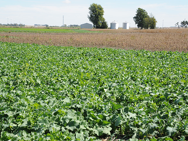 Some growers near Peoria, Illinois, seeded wet holes with cover crops this summer. It's one way to keep those areas from growing up in a tangle of weeds. (DTN photo by Pamela Smith)