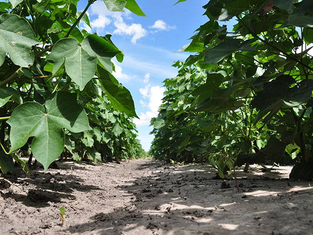 The future use of imidacloprid, the active neonicotinoid ingredient in Gaucho, in cotton fields is in question after an EPA risk assessment rated its use there as high risk. (DTN photo by Emily Unglesbee)