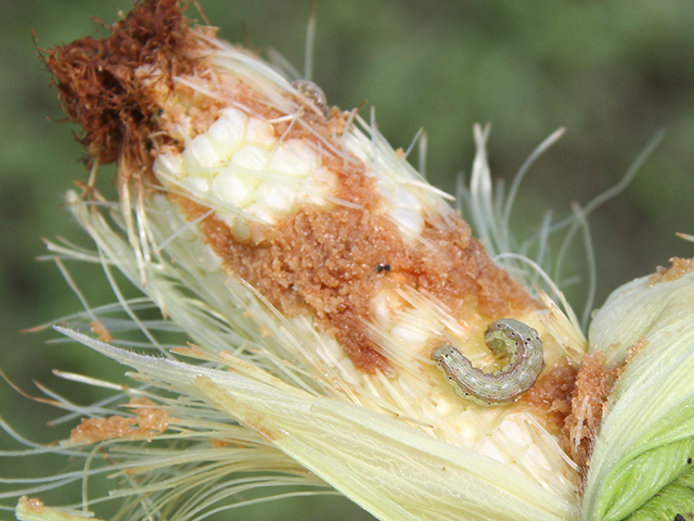 Researchers are hoping to limit corn earworm damage in the future by infecting populations with a newly developed sexually transmitted virus that sterilizes the pest. (DTN photo by Pamela Smith)