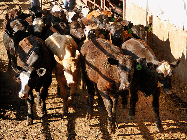Buyers may pencil in a 2% or 3% poundage loss as they strike the deal, but the weight sellers leave in the pen can be a larger drain. (DTN/Progressive Farmer photo by Jim Patrico)