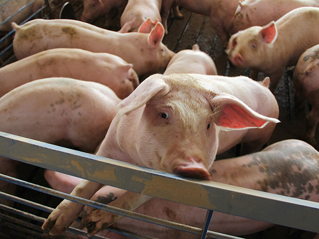 Pork producers are faced with potentially having to euthanize hogs because of the struggles keeping packing plants open. USDA late Friday announced it was getting more engaged with the situation. (DTN file photo)