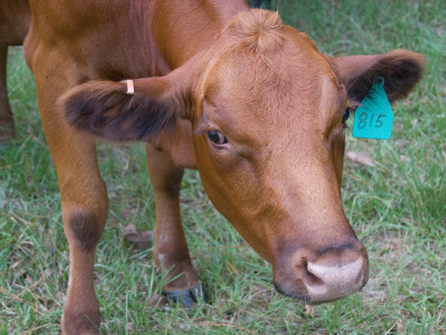 Cattle face warts is a treatable, but contagious condition. It underscores why new animals on the farm should be quarantined. (DTN/Progressive farmer photo by Jim Patrico)
