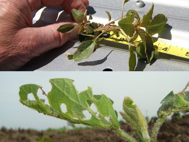 Scouting early and often will help you catch weeds under 3 inches tall and spy early season pests like this bean leaf beetle damage on a soybean seedling. (Photos by Pamela Smith)