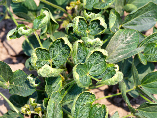 The distinctive cupping of soybean leaves is a sign of dicamba herbicide injury, so take photographs of any damage you intend to report. (DTN photo by Aaron Hager)