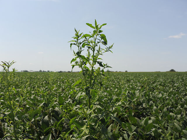 Waterhemp towers above a soybean field in Illinois. Late-season weed escapes are best handled by hand weeding, not chemical options. (DTN photo by Pamela Smith)