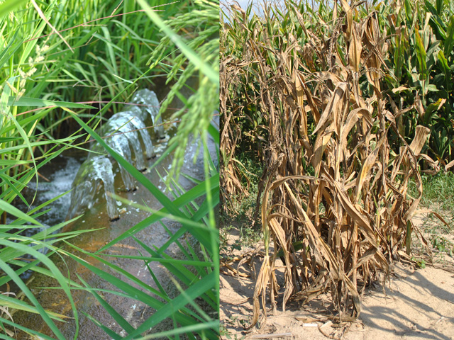 Center pivots can't keep up with water demands on Mississippi Delta corn ground during drought (right photo) so are more prone to yield damage than properties where owners laser level fields and install gravity irrigation (left). (DTN photos by Marcia Zarley Taylor)