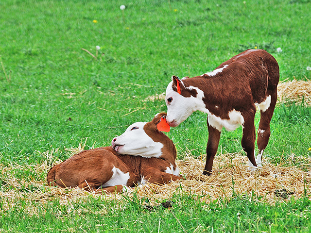 A female born twin to a bull calf should always be checked for fertility. The likelihood that she is a freemartin is high. (Getty Images/Thinkstock)