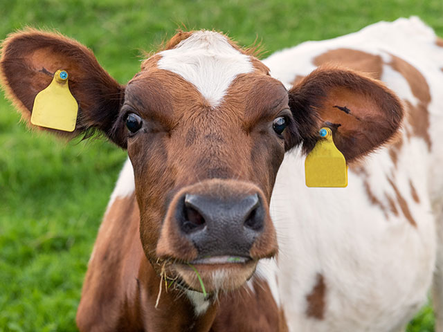 "What's a ""Yellowhammer"" in the cattle world? Many have heard of a bird called the ""yellowhammer"" but one reader wants to know about the milk cows that went by this name. (DTN/Progressive Farmer photo)"