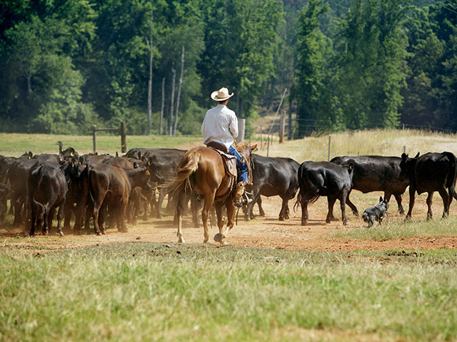 Low stress cattle handling is a foundation of BQA training. (DTN/Progressive Farmer file photo)