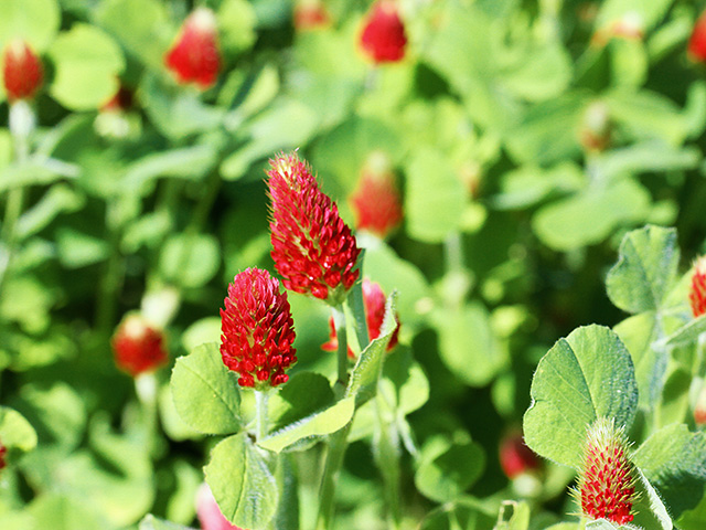 Winter annuals like crimson clover offer a competitive edge for producers willing to master their management. (DTN/Progressive Farmer photo by Pamela Smith)