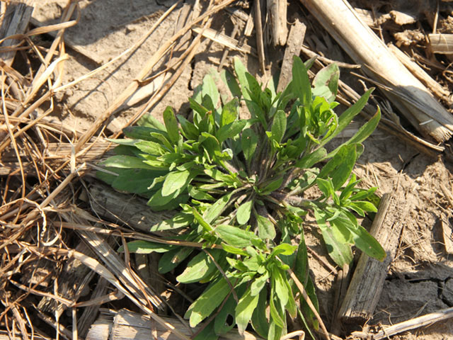 Marestail is the primary driver for spring burndown treatments across the Corn and Soybean Belt, and the weed's herbicide resistance could complicate your options this spring. (DTN photo by Pamela Smith)