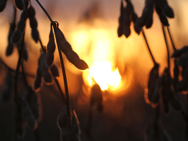 A sunset highlights simple beauty of a soybean at harvest. Opening our senses to the seasons is a reminder of our blessings. (DTN photo by Pamela Smith)