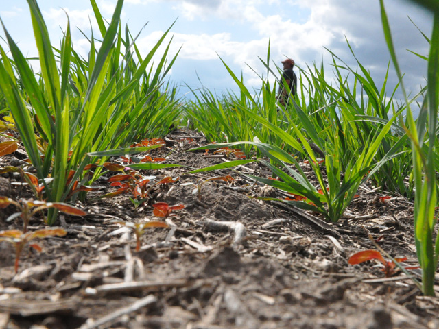A farmer walks past a test plot of cover crops in Nebraska. Covers are used to build soil carbon, which is just one element examined in a new report on ag sustainability released Thursday. (DTN photo by Chris Clayton)
