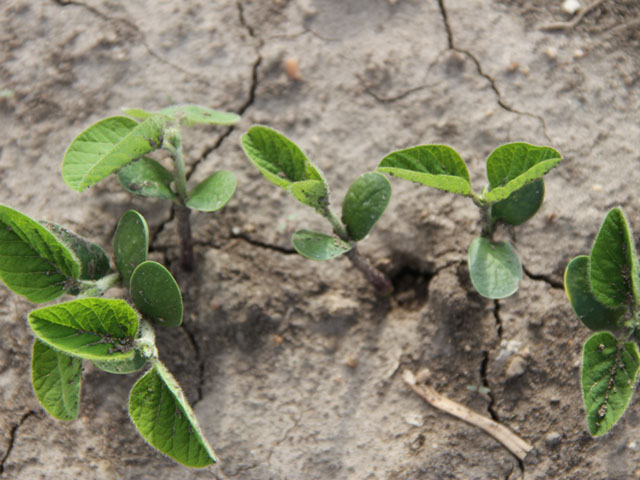 Soybean populations are significantly higher than necessary in the Midwest, according to a University of Wisconsin study. (DTN photo by Pamela Smith)