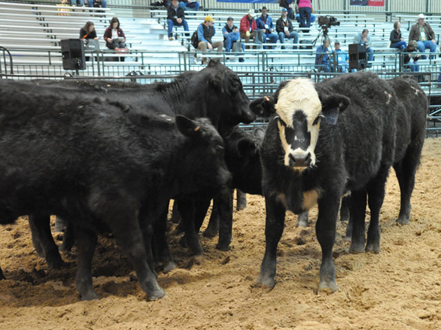 Calves stand in a pen at a cattle management demonstration at the Cattle Industry Convention. (DTN file photo by Chris Clayton)