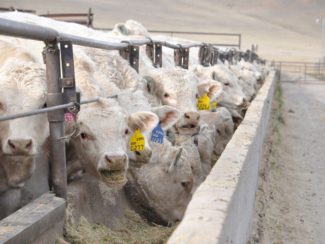 The news at this year's annual CattleFax outlook indicated steer prices could be lower this year. These Charolais feeders are from western Montana. (DTN file photo by Chris Clayton)