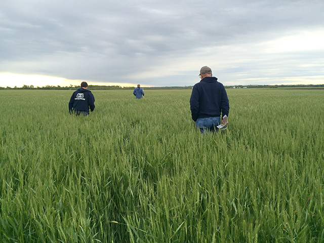 Scouts wade through a wheat field in central Kansas on the first day of the hard red winter wheat tour. (DTN photo by Pam Smith)