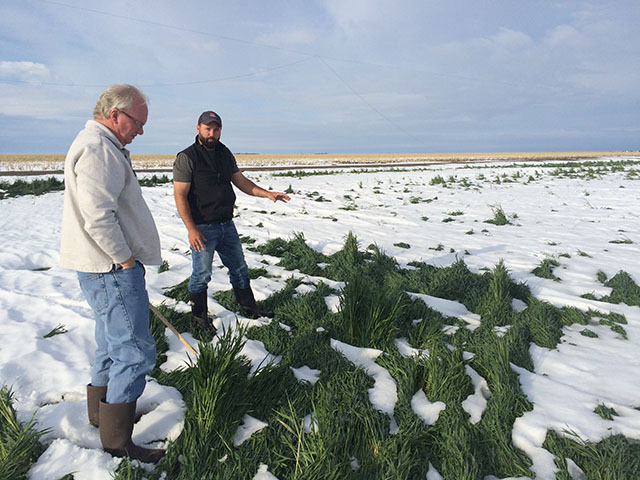Scouts Rick Horton and Brian Walker examined a Kansas winter wheat crop last week during a crop tour immediately after freezing conditions hit portions of the state. Questions remain as to how it will reduce yields. (DTN photo by Pamela Smith)