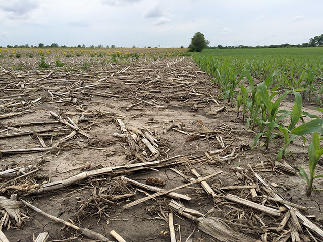 The field on the right was planted early in central Illinois and has weathered cold and heavy rains. Will the field to the left (typically corn-on-corn) get switched to soybeans is the question. (DTN photo by Pamela Smith)
