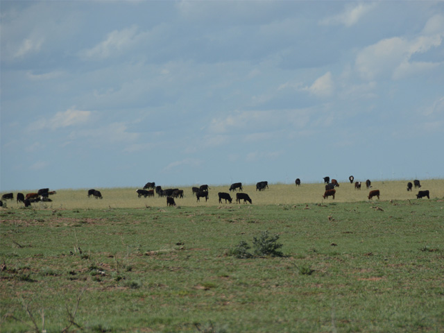 Cattle graze in mid-May on rangeland hit by wildfires that spread March 6 north of Englewood, Kansas. Extension educators from Kansas and Oklahoma counties that saw wildfires in previous years say moisture is the key to grassland recovery. (DTN photo by Russ Quinn)