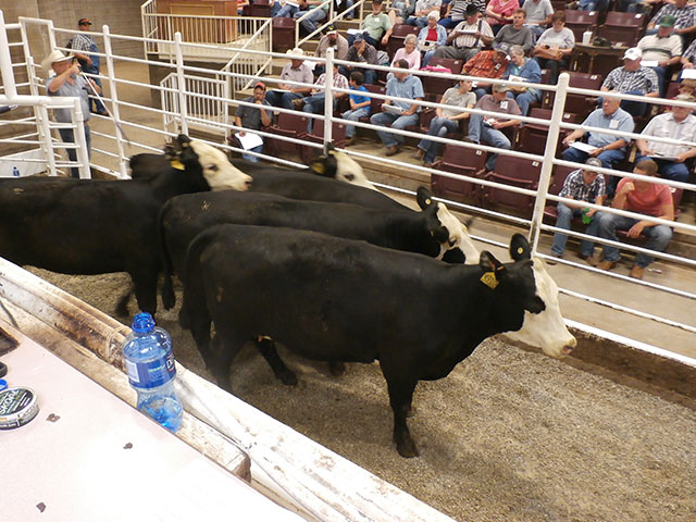Across four, Show-Me-Select spring sales, bred heifer prices averaged $1,805 this year; down from $2,258 for four comparably timed sales in 2016. (Photo courtesy Eldon W. Cole, University of Missouri)