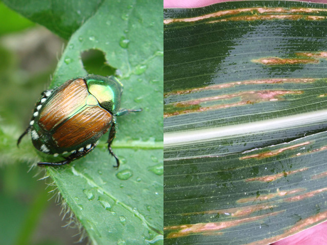 Japanese beetles and a new corn disease called bacterial leaf streak are on the move in the Midwest this week. (Left: DTN photo by Pamela Smith; Right: Photo courtesy Kirk Broders, Colorado State University)