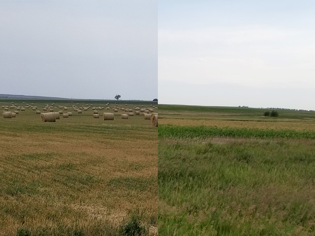 Pictured on the left is hard red winter new crop in north-central South Dakota that was baled because the drought stunted its growth. Farmers and ranchers have baled it because it is worth more to them as feed since most of their pastures are dried up. The picture on the right is of a field of new-crop corn 2 1/2 miles west of Gettysburg, South Dakota, that was damaged by a June 24 frost. The brown-colored patch behind the green patch is all frost-damaged corn. (Photo by Tim Luken, manager of Oahe Grain in Onida, South Dakota)