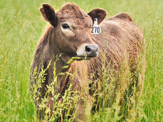 A calf that doesn't stand or walk normally can be dealing with a number of issues, including something as serious as rabies, or as simple as lead toxicity. (DTN/Progressive Farmer photo by Jim Patrico)