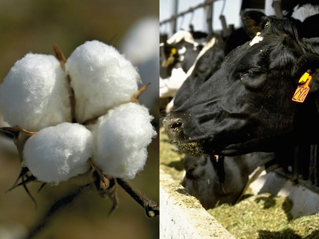 A House disaster bill that could be one of the last votes for Congress this year includes language that would help cotton producers and dairy farmers. (DTN file photos)