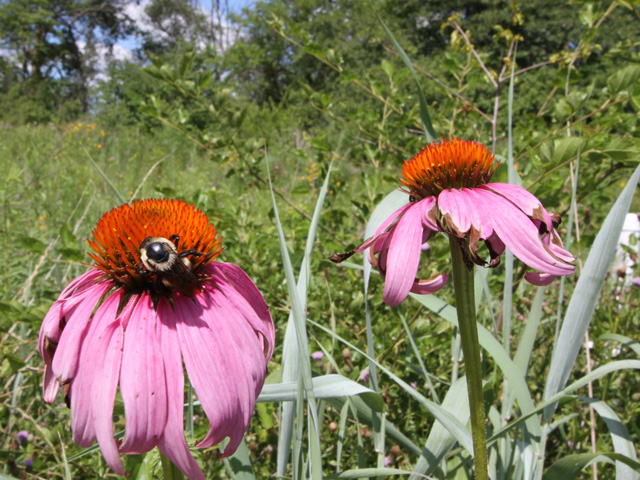 Farmers need to scout pollinator plots to make sure they feature flowers that attract bees and other beneficial insects instead of pesky weeds like Palmer amaranth. (DTN photo by Pamela Smith)