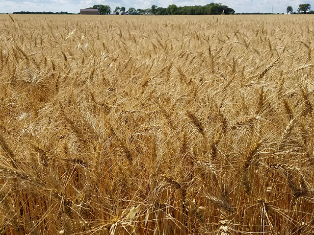 This spring wheat field in Crookston, Minnesota, is waiting to be harvested. As of Sunday, Aug. 13, USDA reported that 45% of the U.S. spring wheat crop has been harvested with South Dakota at 82%, North Dakota at 41% and Montana at 34% harvested. (Photo courtesy of Tim Dufault)