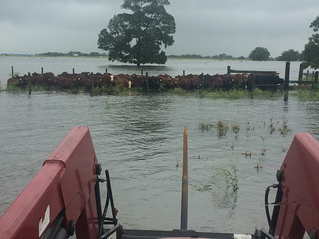 One Bay City, Texas, cattleman said their livestock losses have been zero, but some areas are under as much as 20 feet of water and long-term damage is unknown at this point. (Photo courtesy of Gene Kubecka)