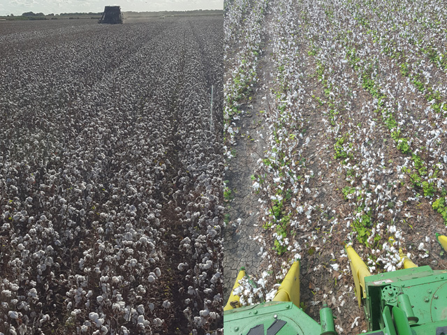 On the left is a cotton field in Bay City, Texas, on Aug. 21, and on the right is the same field on Sept. 6 after Hurricane Harvey wreaked havoc on much of southern and eastern Texas. Bay City is about 80 miles southwest of Houston and 20 miles from the Gulf Coast. (Photos courtesy of Robby Reed)