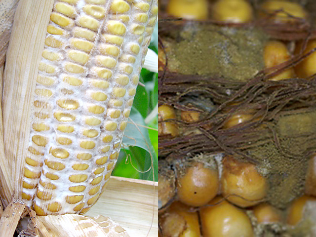 From the common Diplodia (left) to the more dangerous Aspergillus (right), ear molds are starting to surface across the country and require scouting. (Photos courtesy Alison Robertson of Iowa State University)