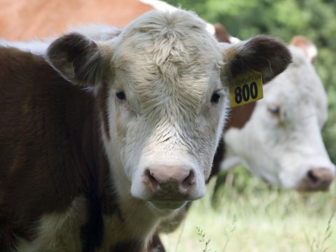 Close monitoring and treatment are called for in a calf with naval ill. (DTN/Progressive Farmer image by Claire Vath)
