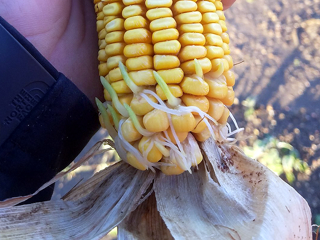 Hastings, Nebraska, farmer Randy Uhrmacher has found kernel sprouting in one of his Adams County cornfields. He posted this photo of a sprouting ear of corn on Twitter. (Photo courtesy of Randy Uhrmacher)