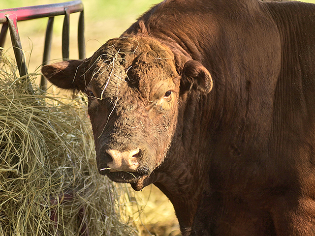 Sudden cold can damage a bull's ability to reproduce by lowering body condition, causing an illness or even frostbite.(DTN/Progressive Farmer image by Jim Patrico)