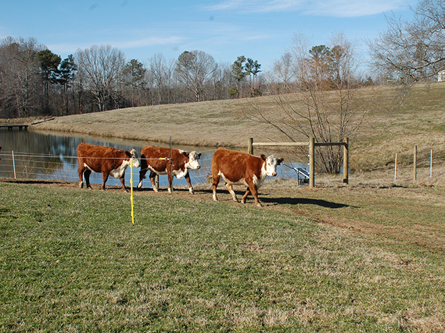As cattle move between pastures this fall, keep an eye out for forages that develop prussic acid after a frost. (DTN/Progressive Farmer photo by Becky Mills)