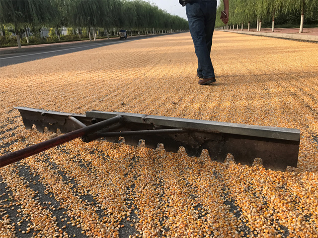 Many farmers in the Hebei province in China dry corn on the street after harvest. Picture taken in Hejian County, Hebei Province, 150 miles south of Beijing. (DTN photo by Lin Tan)