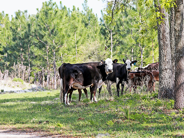 Thanks to advice from his consulting forester Ralph Jowett (left), Scott Stephens lets his cows and calves graze under the pines on wire grass. He sells his coastal bermudagrass hay to horse owners. (DTN/Progressive Farmer photo by Karl Wolfshohl)