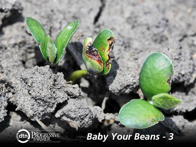 No one likes to see herbicide injury on soybean seedlings, but the damage is not always as bad as it looks. (DTN/Progressive Farmer photo by Aaron Hager, University of Illinois)